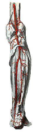 Arterien-onderbeen